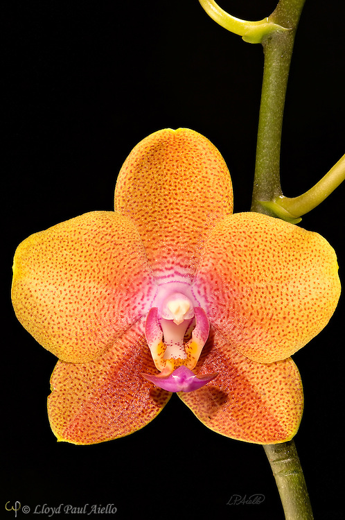 A phaleanopsis orchid grown and bloomed by the photographer.<br /> <br /> Phalaenopsis are also known as Moth Orchids and are native throughout southeast Asia from the Himalayan mountains to the islands of Polillo, Palawan and Zamboanga del Norte in the island of Mindanao in the Philippines and northern Australia.