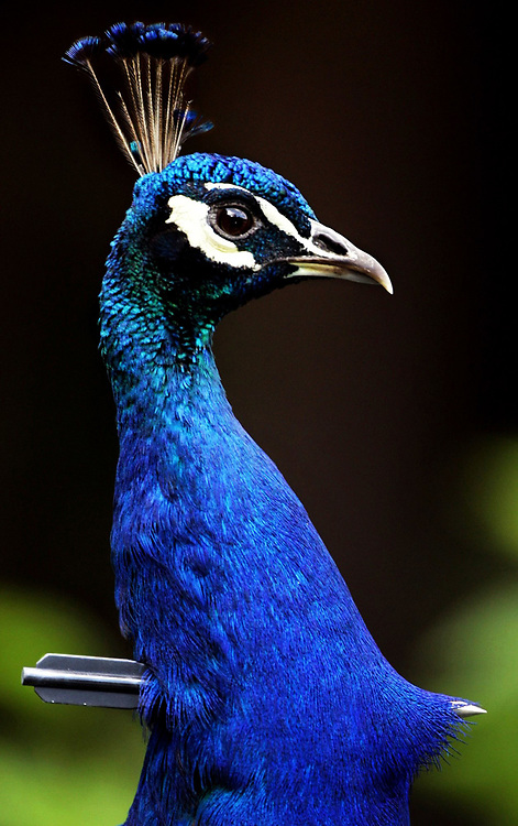 Shot through the neck with a steel dart, a peacock roams amid the old homes on a bohemian block of 4th Street  in Detroit. Weeks later he survived after neighbors trapped him and removed the dart with a bolt cutter.