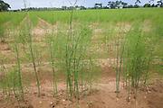 Asparagus plants in field Sutton Suffolk England