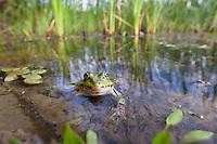 Aquatic Frog in pond, Rana esculenta, Latorica backwater, Slovakia, Europe<br /> Rana esculenta, Nymphaea alba, Wasserfrosch in Teich, Rana esculenta, Latorica Altwasser, Slowakei, Europa