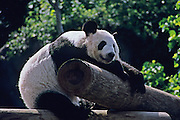 Panda resting at the Memphis Zoo.