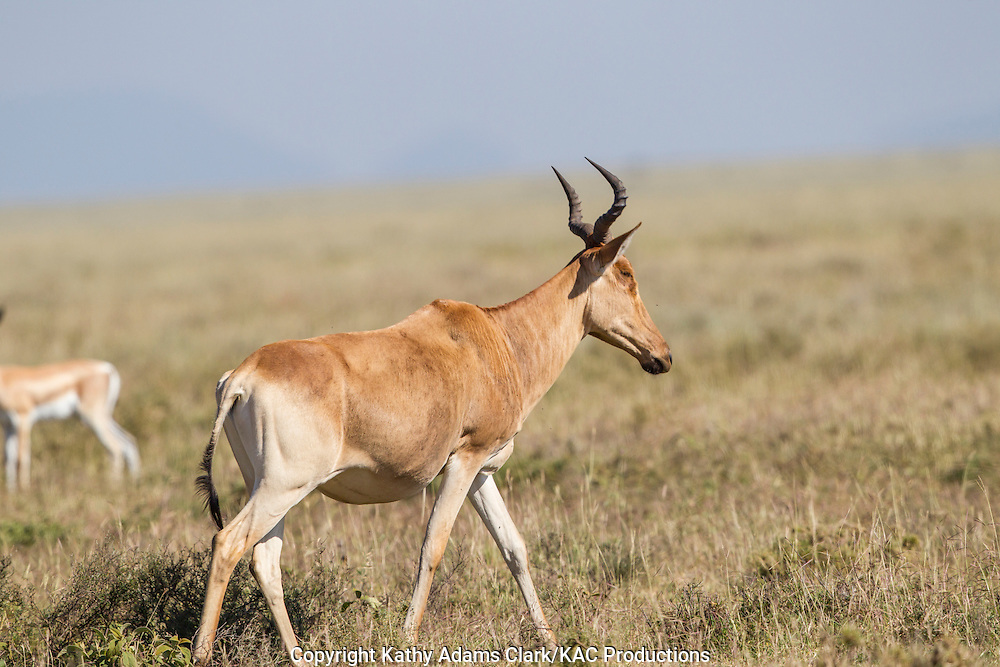 Red hartebeest on the plains of the Ngorongoro Conservation Area, Tanzania, Africa. Alcelaphus buselaphus