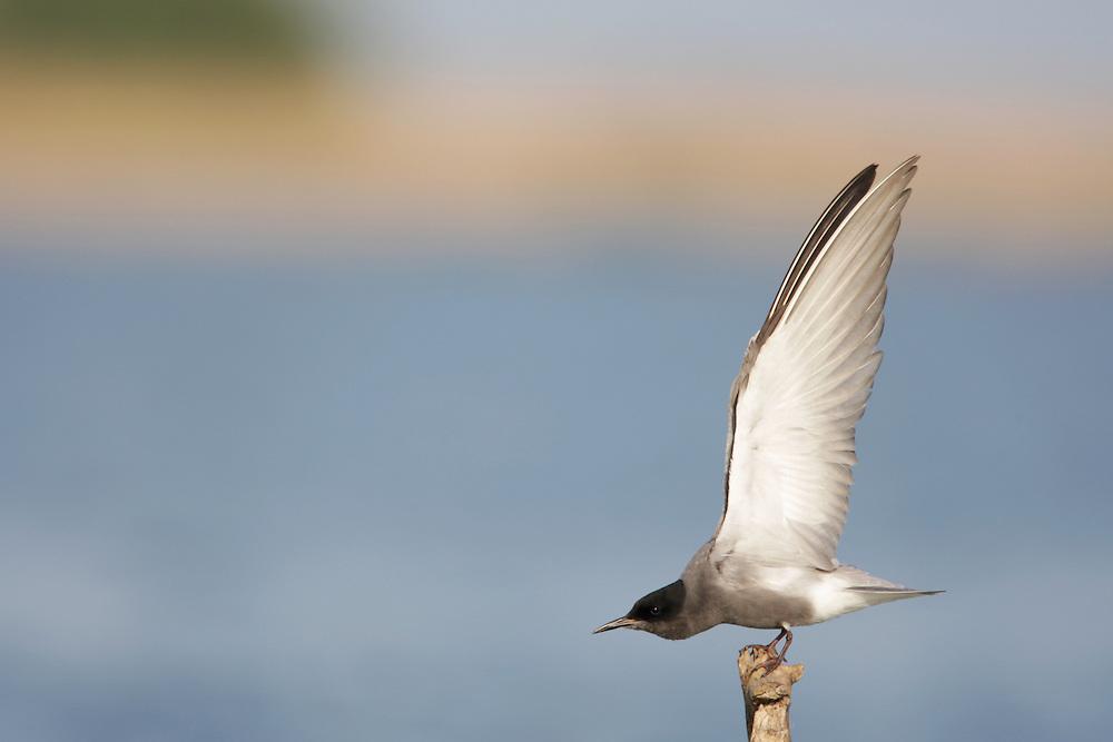 Black Tern (Chlidonias niger) in the Danube Delta, Romania. May 2009 <br /> Mission: Danube Delta