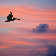 Pelican flying at sunrise with pink cirrus clouds in backgrou nd, South Water Caye, Belize