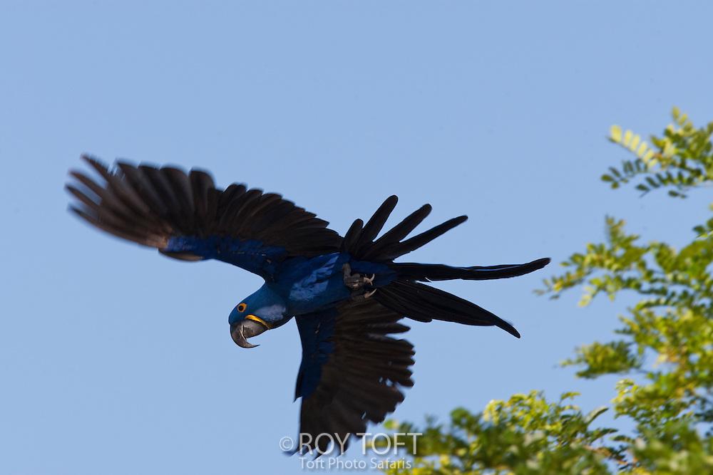 Hyacinthine macaw in flight.