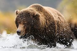 Grizzly bear (Ursus arctos) in Katmai, Alaska, USA