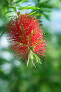 Bottle Brush Flower - Australian Native Flora. Bottlebrushes are members of the genus Callistemon and belong to the family Myrtaceae.