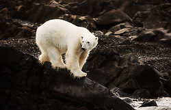 Polar bear (Ursus maritimus) stranded on an iceland north of Svalbard, Norway