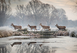 © Licensed to London News Pictures. 19/01/2017. London, UK. Deer cross a bridge over a pond in Bushy Park on a frosty morning. Temperatures are not expected to rise above 1 degree in the south east today. Photo credit: Peter Macdiarmid/LNP