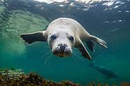 Grey seal (Halichoerus grypus) Orkney Isles.