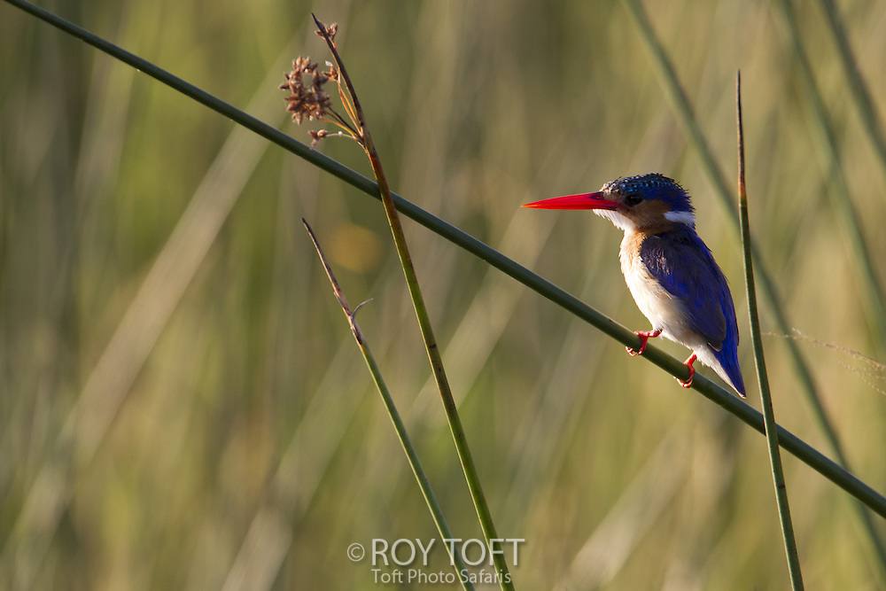 Malachite Kingfisher (Alcedo cristata), Botswana
