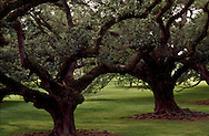 Live Oaks, Oak Alley Plantation, Vacherie, LA