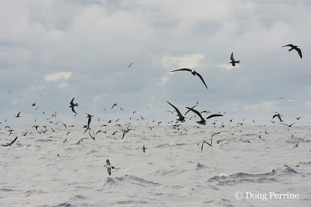 feeding seabirds, mostly brown noddy terns, Anous stolidus, with some white terns and mutton birds, mark a school of skipjack tuna, Vava'u, Kingdom of Tonga, South Pacific