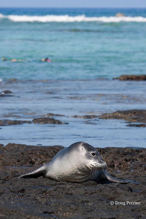 Hawaiian monk seal, Monachus schauinslandi, resting on exposed rock reef off Kahaluu Beach Park, while snorkelers explore reef in background, Kahalu'u Beach, Kailua Kona, Hawaii Island ( the Big Island ) Hawaiian Islands ( Central Pacific Ocean )