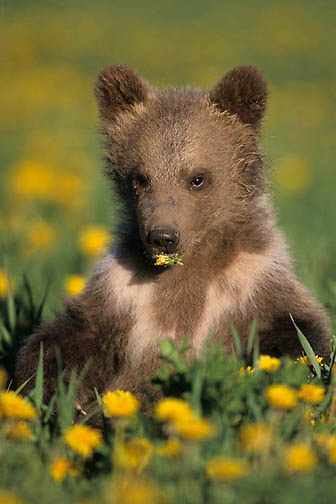 Grizzly Bear, (Ursus horribilis) Spring cub in meadow. Summer. Montana. Captive Animal.