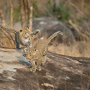 Young leopard (Panthera pardus) cubs playing. South Africa