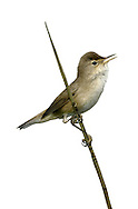 Reed Warbler - Acrocephalus scirpaceus. L 13-14cm. Wetland warbler with nondescript brown plumage but distinctive song. Sexes are similar. Adult has sandy brown upperparts with reddish brown flush to rump. Underparts are pale with buffish flush to flanks. Legs are dark and bill is needle-like. Note hint of pale supercilium and eyering. Juvenile is similar but upperparts are warmer brown and underparts more intensely flushed buff. Voice Utters a sharp tche call. Song contains grating and chattering phrases (some are repeated 2 or 3 times, plus elements of mimicry. Status Locally common summer visitor to reedbeds.