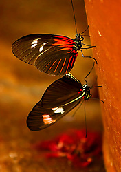 Two beautiful butterflies hanging out on a flower pot at the Butterfly House at the Saint Louis Zoo.