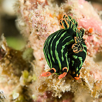 Nudibranche, Nembrotha kubaryana , Iles Banggais, Sulawesi, Indonésie