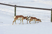 Pronghorn antelope crawling under a fence in winter habitat.