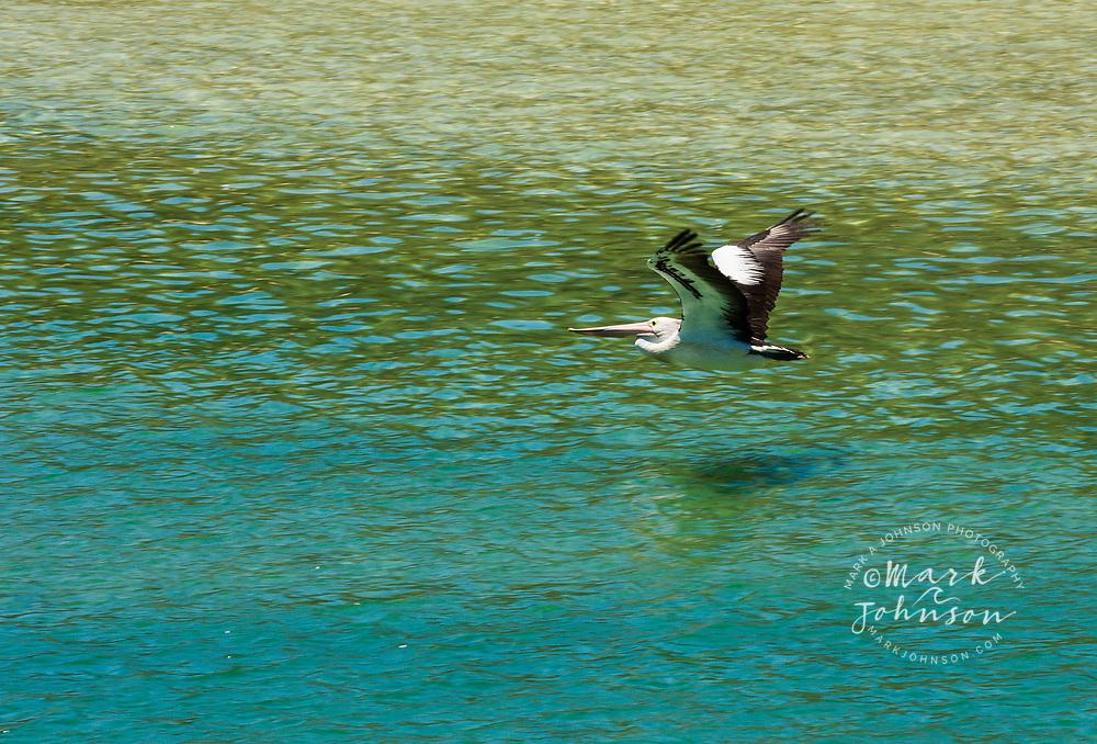 Australian Pelican(Pelecanus conspicillatus) flying over Cudgen Creek, Kingscliffe, NSW, Australia
