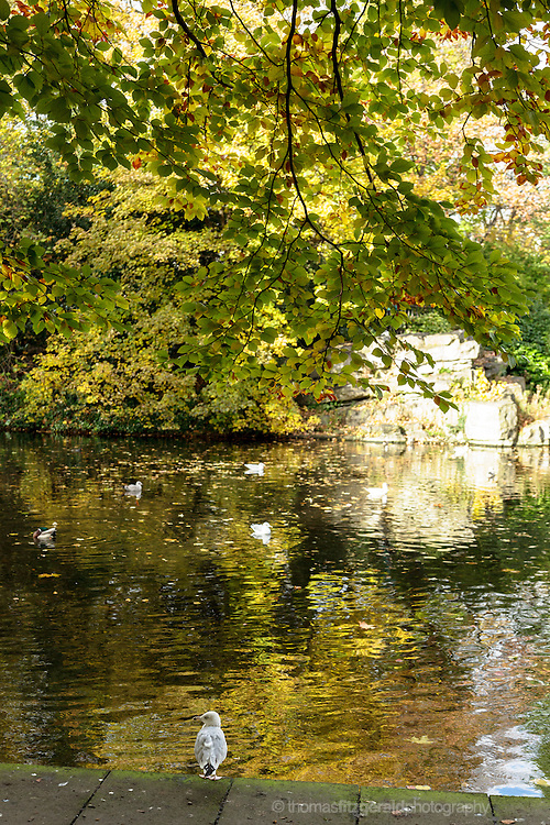 Autumn leaves on the ground and trees with seagulls in the water in this park scene from Dublin's St. Stephen's green