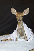 Black-tailed Deer<br /> Odocoileus hemionus<br /> Two-week-old orphaned fawn that was hit by car<br /> Kindred Spirits Fawn Rescue, Loomis, California