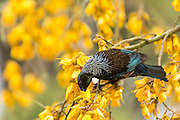 Tui feeding on Kowhai flowers in the spring.