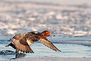 Redhead, Aythya americana, male, St. Clair River, Michigan