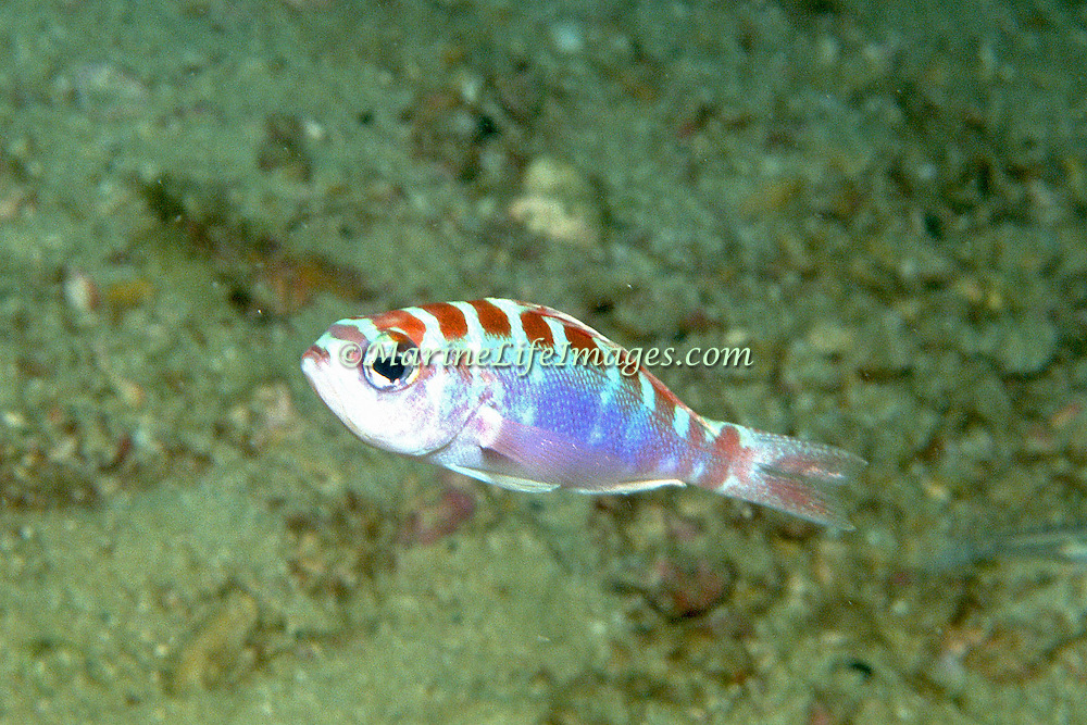 Chalk Bass hover just above sand and rubble bottoms in Tropical West Atlantic; picture taken Anguilla.