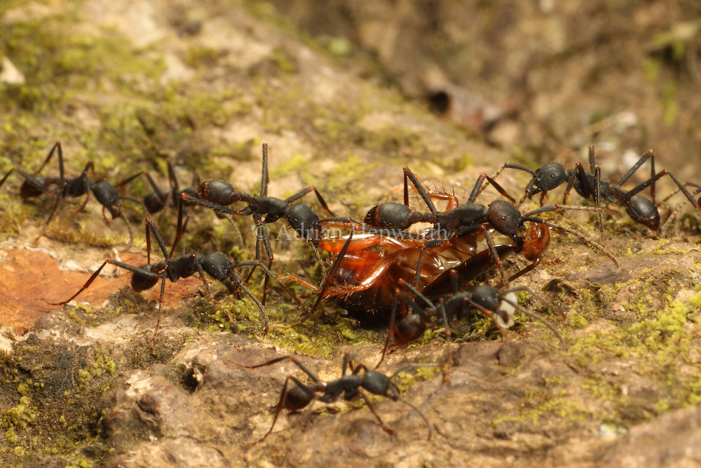 Army ants (Eciton sp.) carry a cockroach back to their bivouac. Rainforest in Rincon de la Vieja National Park, Costa Rica. <br />