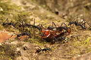 Army ants (Eciton sp.) carry a cockroach back to their bivouac. Rainforest in Rincon de la Vieja National Park, Costa Rica. <br /> <br /> For pricing click on ADD TO CART (above). We accept payments via PayPal.