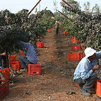 SETTLER'S BOUTIQUE WINE 2009...Foreign Thai workers pick Merlot grapes from the vineyard during the harvest of Tanya boutique winery in the West Bank Jewish settlement of Ofra, October 2009.