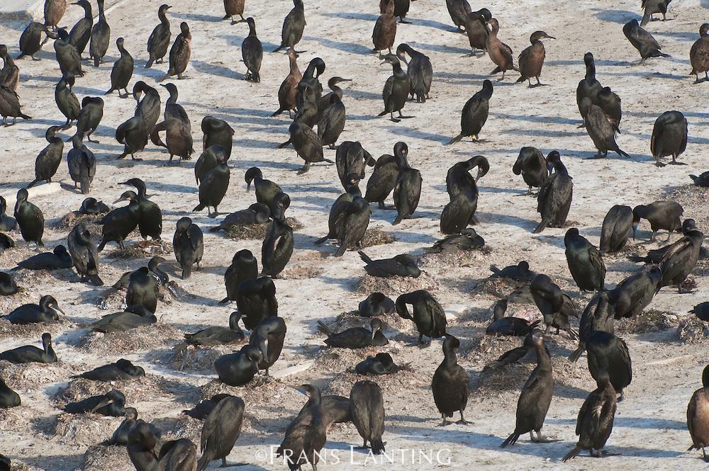 Brandt's cormorants, Phalacrocorax penicillatus, Ano Nuevo Island, Monterey Bay, California