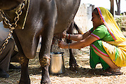 Prabhaben milking their cow Ahmedabad, India.<br /> <br /> Vallabh and his wife have recently installed some drip irrigation on their farm and they are seeing some real improvements in their cotton plants but they are also saving water and time.