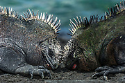 Marine Iguanas (Amblyrhynchus cristatus) Males fighting<br /> Cabo Douglas, Fernandina Island, GALAPAGOS ISLANDS<br /> ECUADOR.  South America<br /> ENDEMIC TO THE ISLANDS<br /> These are the only true marine lizard in the world. Although not truely social they are highly gregarious, often spending cool nights in tight clusters. As the sun rizes they can be seen sunning themselves on the rocks to heat up before going into the sea to feed. Their black coloration helps them to absorb the sun's energy and to camourflage on the lava rocks.