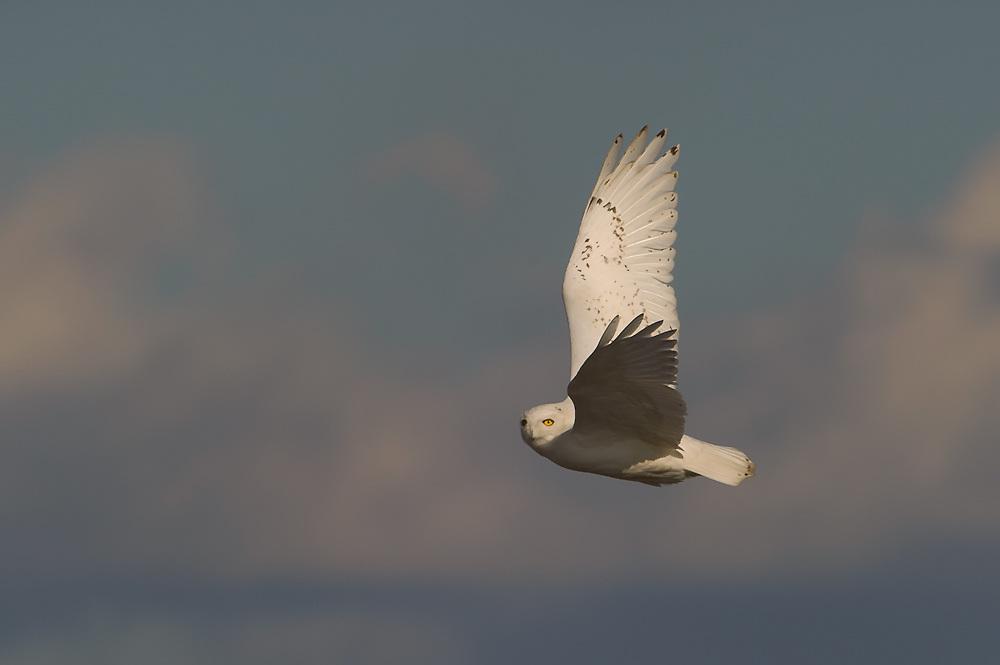 Snowy Owl male flight Syracuse Airport