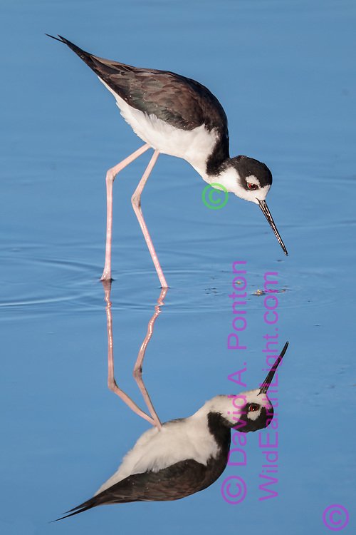 Black-necked stilt wading in shallows is poised to strike, with reflection, Salton Sea, CA, © 2011 David A. Ponton
