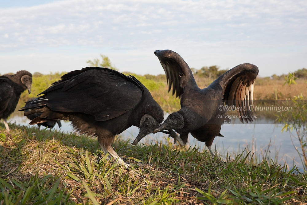 Vultures are notorious for squabbling, even with their offspring, which is partly due to their tendency to flock, which leads to competition for limited food and mating opportunities. Everglades National Park, Florida.