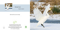Whooper Swan Cygnus cygnus in snow Square Greeting Card with Peel and Seal White Envelope