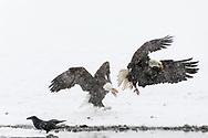 Bald Eagles (Haliaeetus leucocephalus) sparring along the Chilkat River in the Chilkat River Bald Eagle Preserve in Southeast Alaska. Winter. Afternoon.
