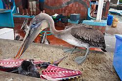 A Brown Pelican (Pelecanus occidentalis), picks at scraps of recently cleaned fish at the fish market in Puerto Ayora, Santa Cruz Island, Galapagos, Ecuador