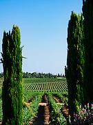 Grape vines in a vineyard Photographed in Israel