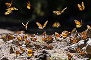 Monarch Butterflies fly close to the ground as they mass at the El Capulin Monarch Butterfly Biosphere Reserve in Macheros, Mexico. Each year millions of Monarch butterflies mass migrate from the U.S. and Canada to the Oyamel fir forests in central Mexico.
