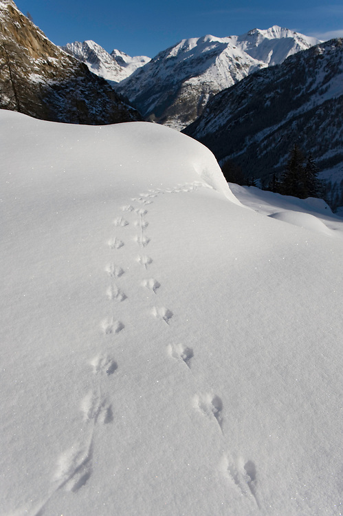 25.11.2008.Tracks of mouse in alpine landscape..Gran Paradiso National Park, Italy