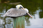 Brown Pelican, Pelecanus occidentalis, a large shorebird roosting on a pole at Captiva Island, Florida, USA