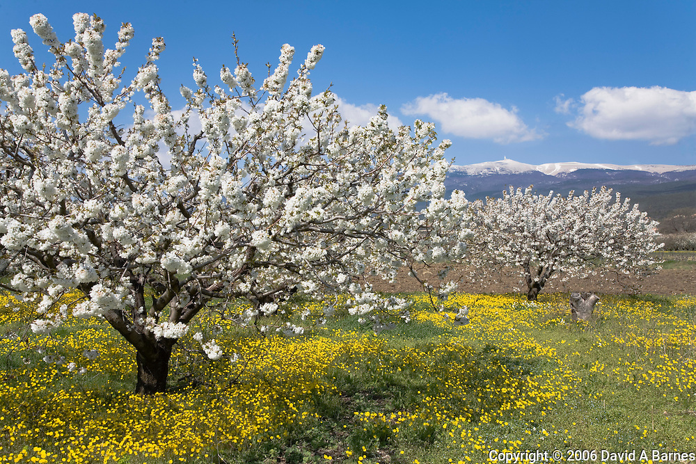 Fruit blossoms, snow capped Mont Ventoux, Vaucluse, Provence, France
