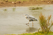 Grey heron stalking fish in the Clyst estuary at Bowling Green Marsh in Topsham, Devon.