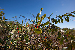 Native mistletoe growing near James Price Point