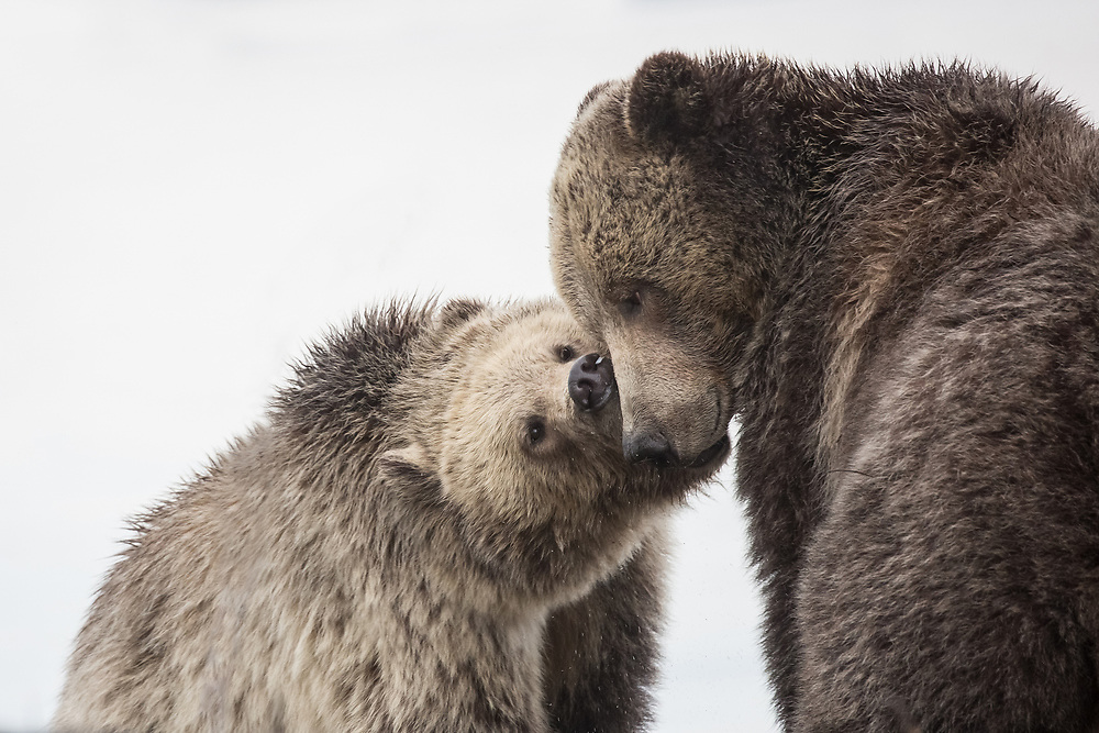 After more than three years together, the grizzly sow, Raspberry, and her sub-adult cub, Snow, still exhibit an enormous amount of affection towards one another. They have been each other's constant companions for all that time and their fondness for each other is clearly visible whenever they're together.